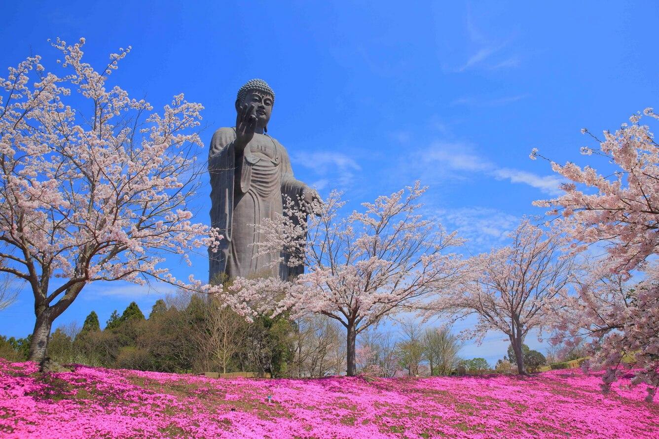 1. Hoa Shiba zakura ở Ushiku Daibutsu
