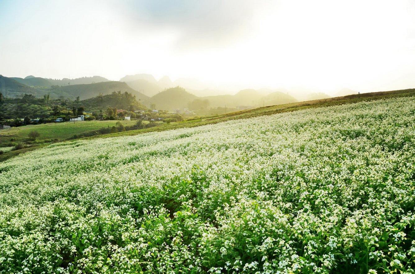 Tinh khôi đồng hoa cải trắng…
