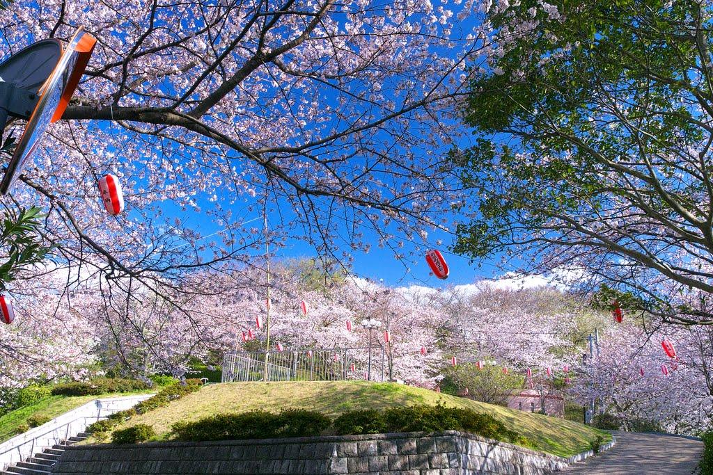 Lãng mạn sắc anh đào bên thành cổ Fukuoka