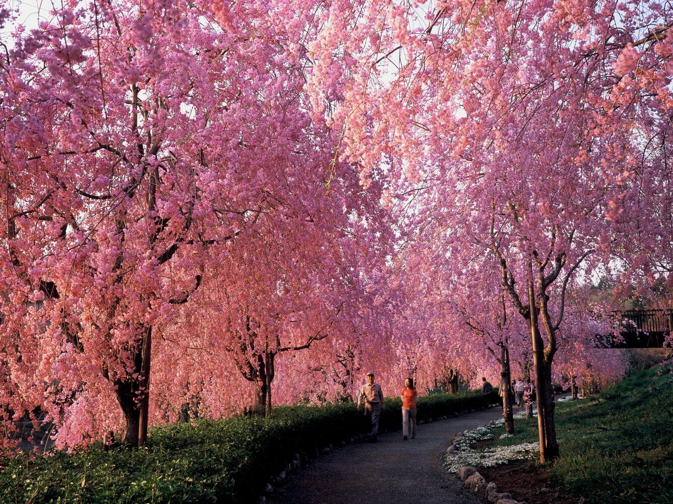 2. Con đường hoa anh đào cánh rủ trên ngọn đồi Hitachi Fudoki