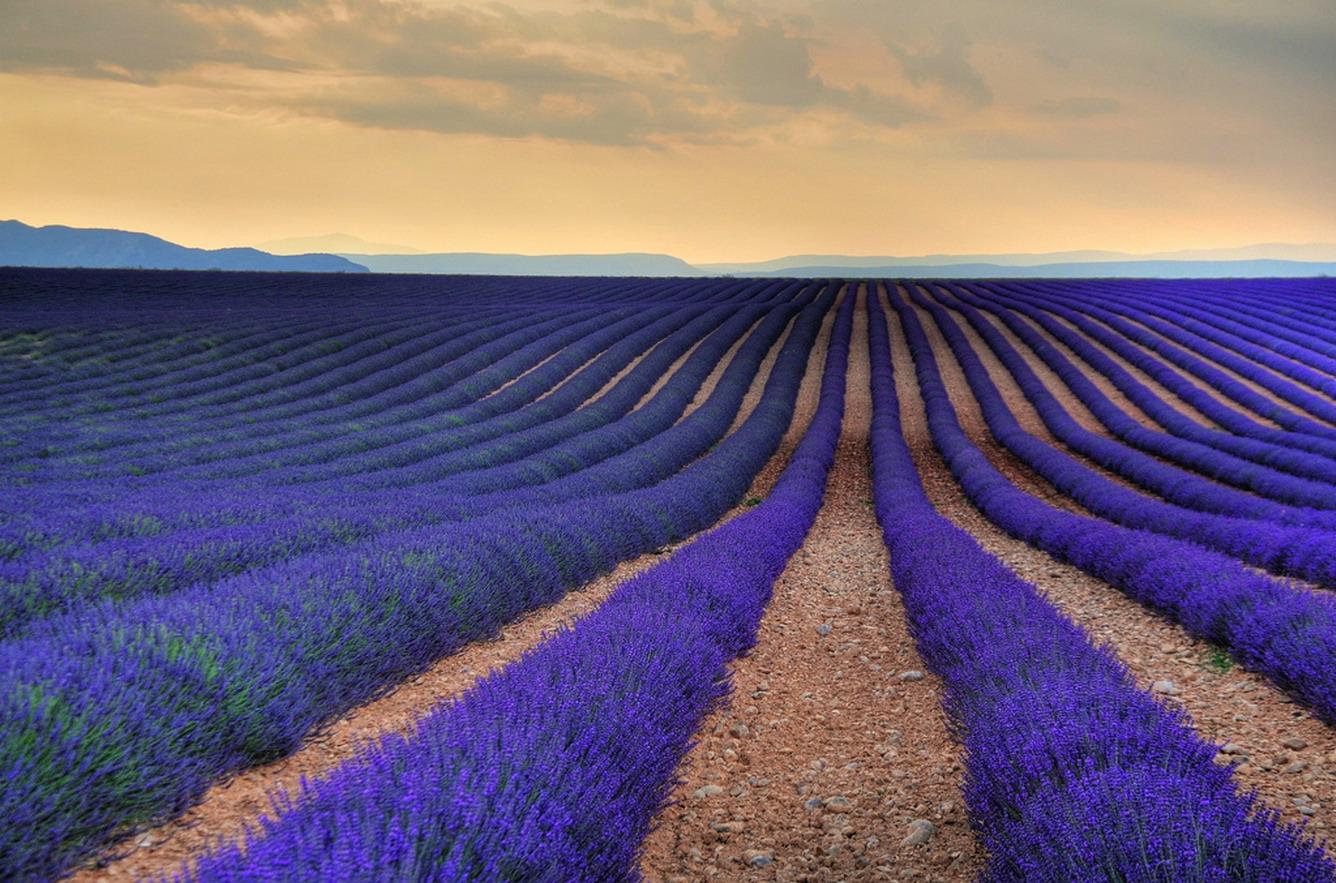 Ký sự Mayfield - cánh đồng hoa oải hương