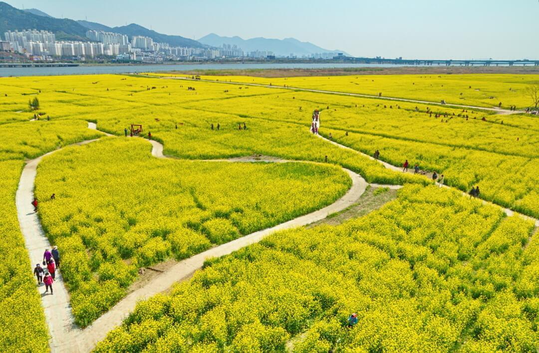 3. Cánh đồng hoa cải ở công viên Daejeo, Busan