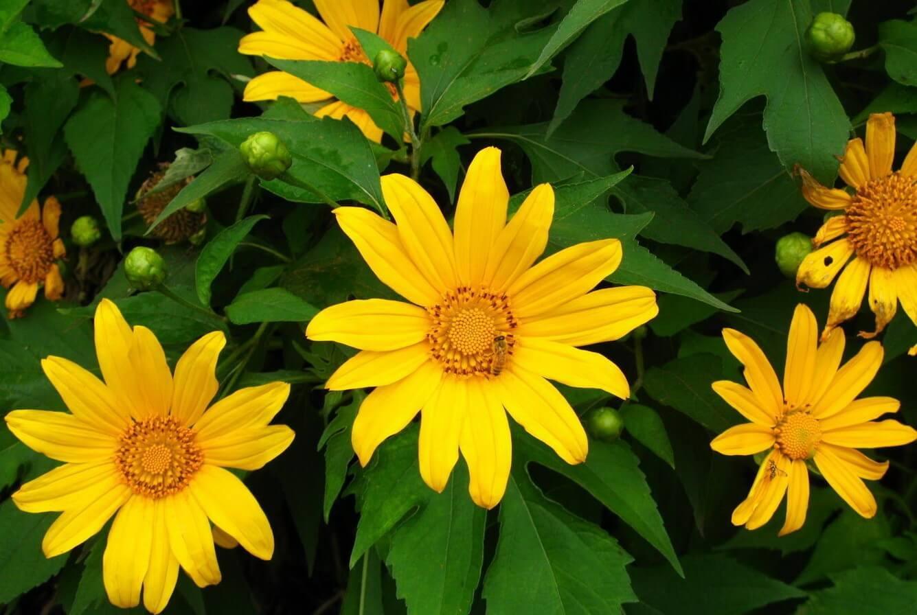 Mùa hoa dã quỳ, loài hoa kiêu sa của Đà Lạt