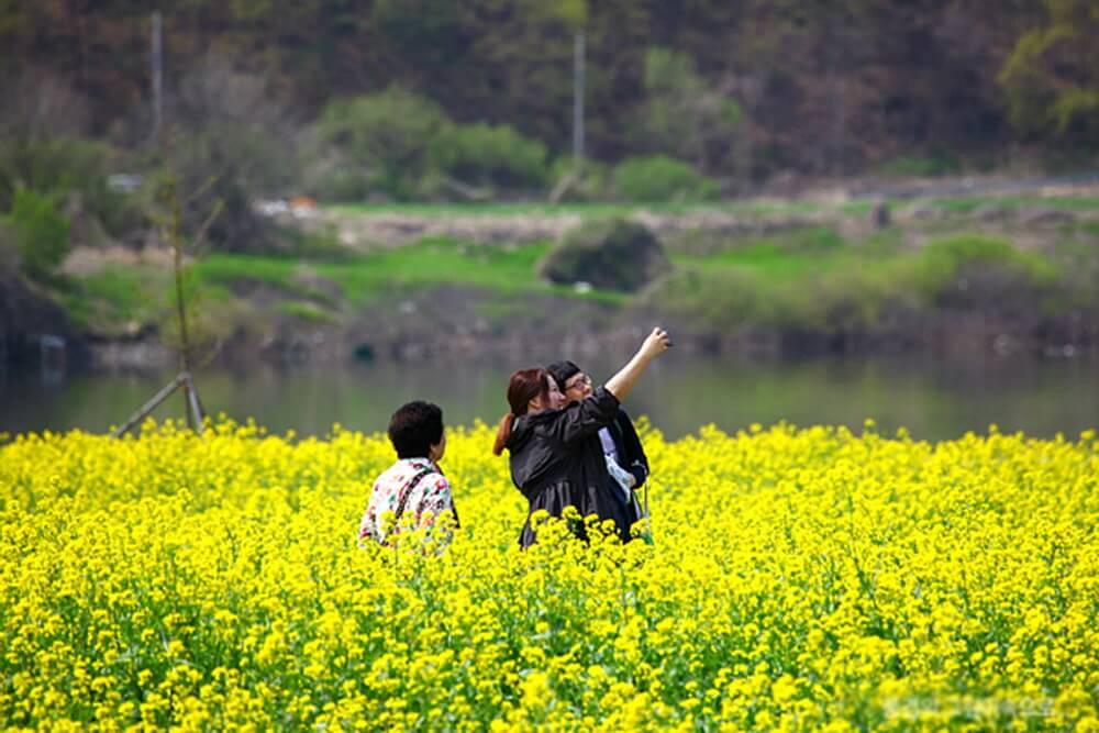 4. Cánh đồng hoa cải ở Namji, Gyeongnam