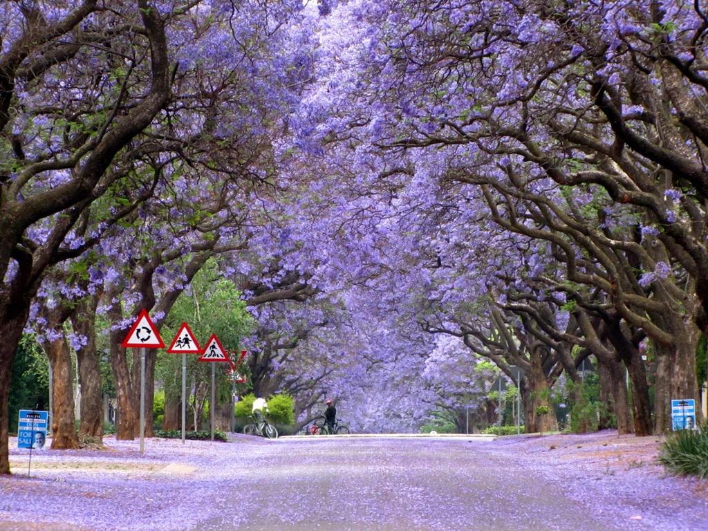 Nước Úc ngát hương hoa phượng tím