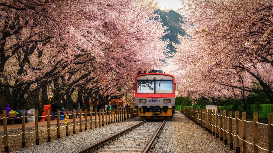 Thế giới chào đón mùa hoa anh đào