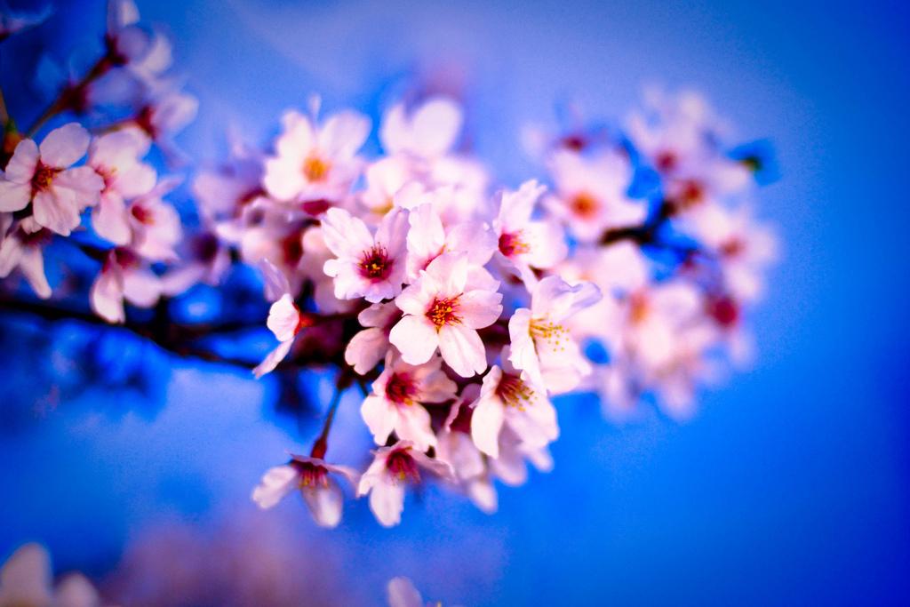 """""""Mãn nhãn"""" hoa anh đào khoe sắc ở Sapa"""