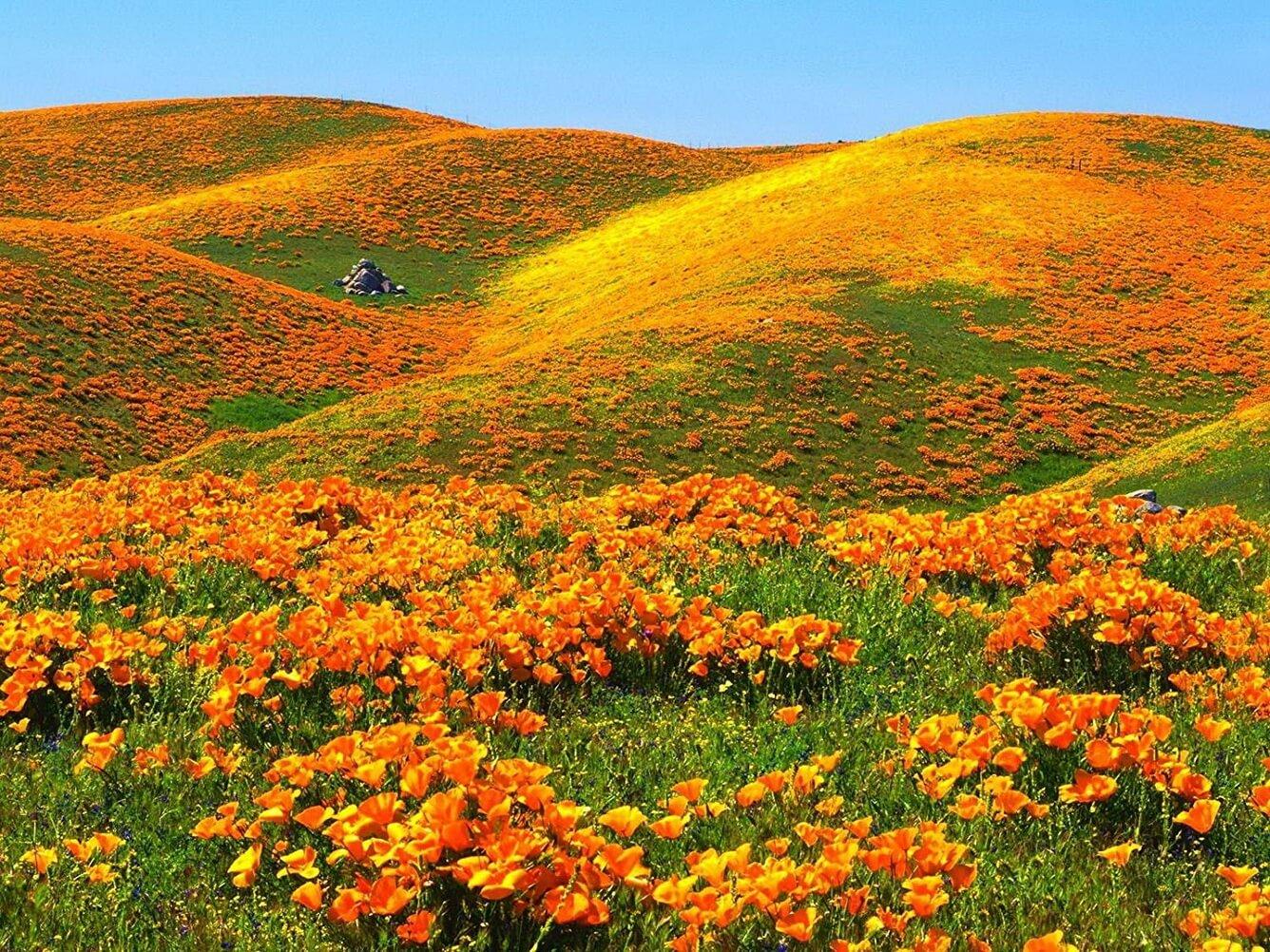 Thung lũng hoa poppy tràn sức sống