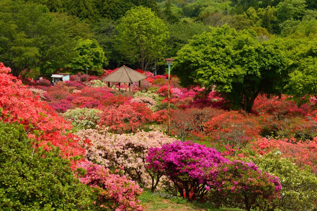 Từ hoa anh đào cho đến Nemophila, mùa xuân ở Ibaraki là mùa của các loại hoa