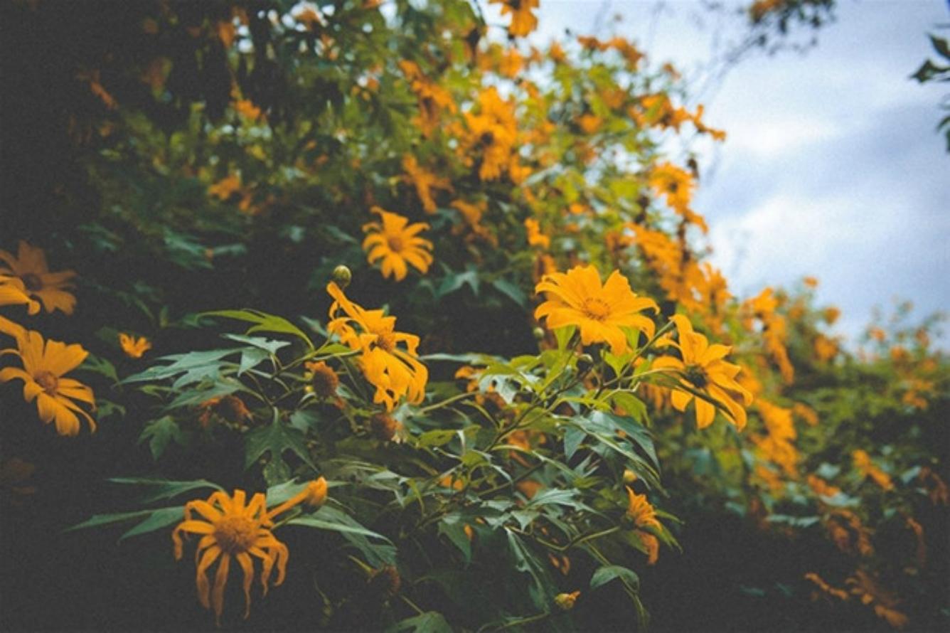 Mùa hoa dã quỳ Bảo Lộc - nàng tiên còn ngủ quên