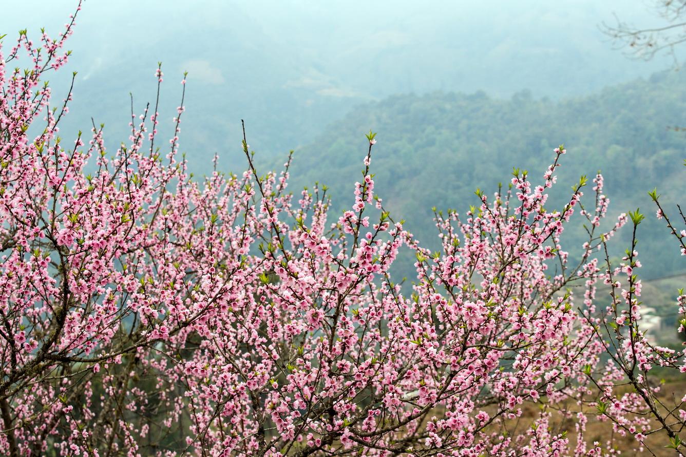 """Hoa đào - """"Nữ hoàng mùa xuân"""""""