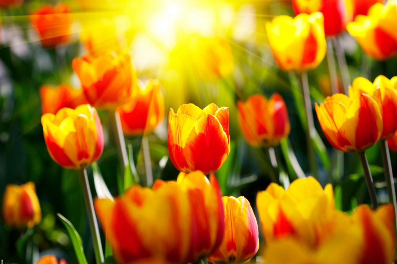 Vương quốc của hoa Uất kim hương