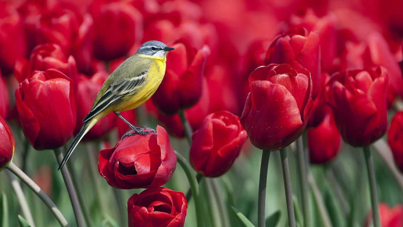 Hà Lan – Thiên đường của Mùa xuân