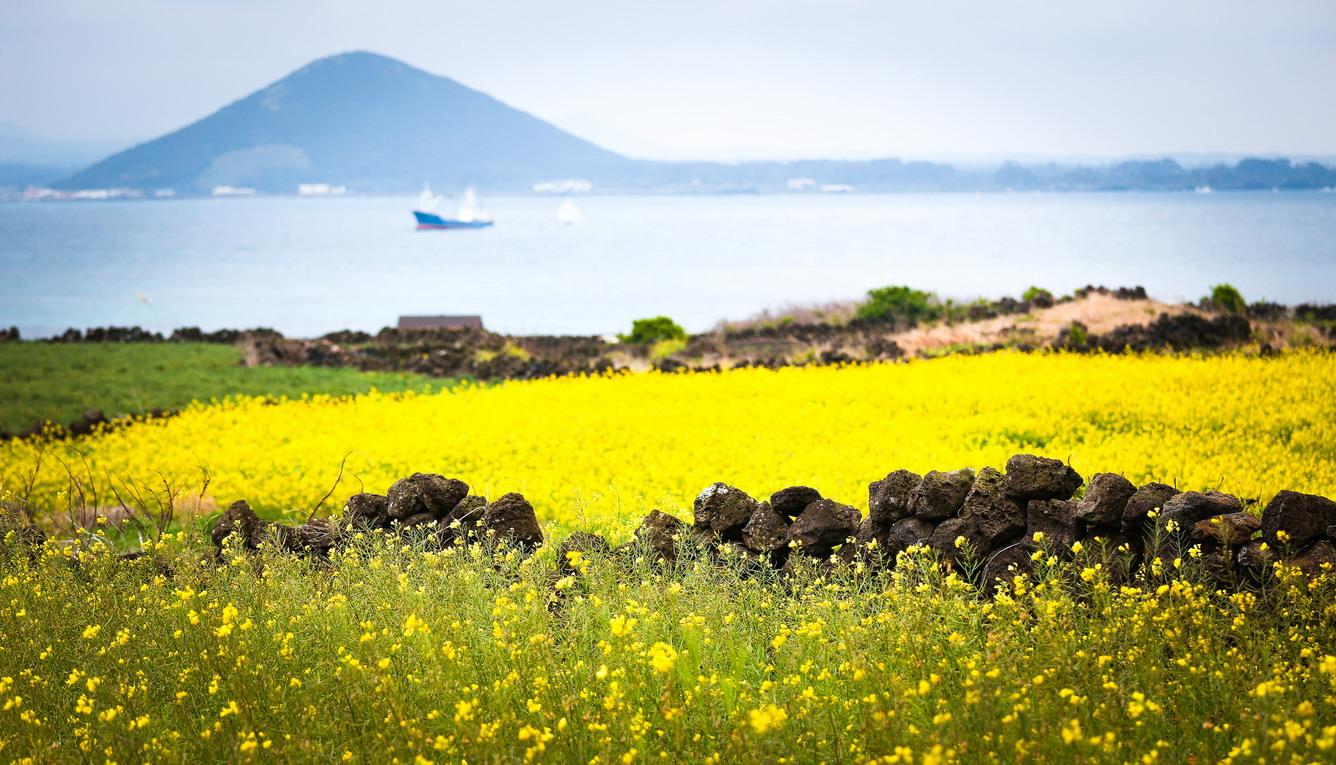 Hoa cải dầu Jeju