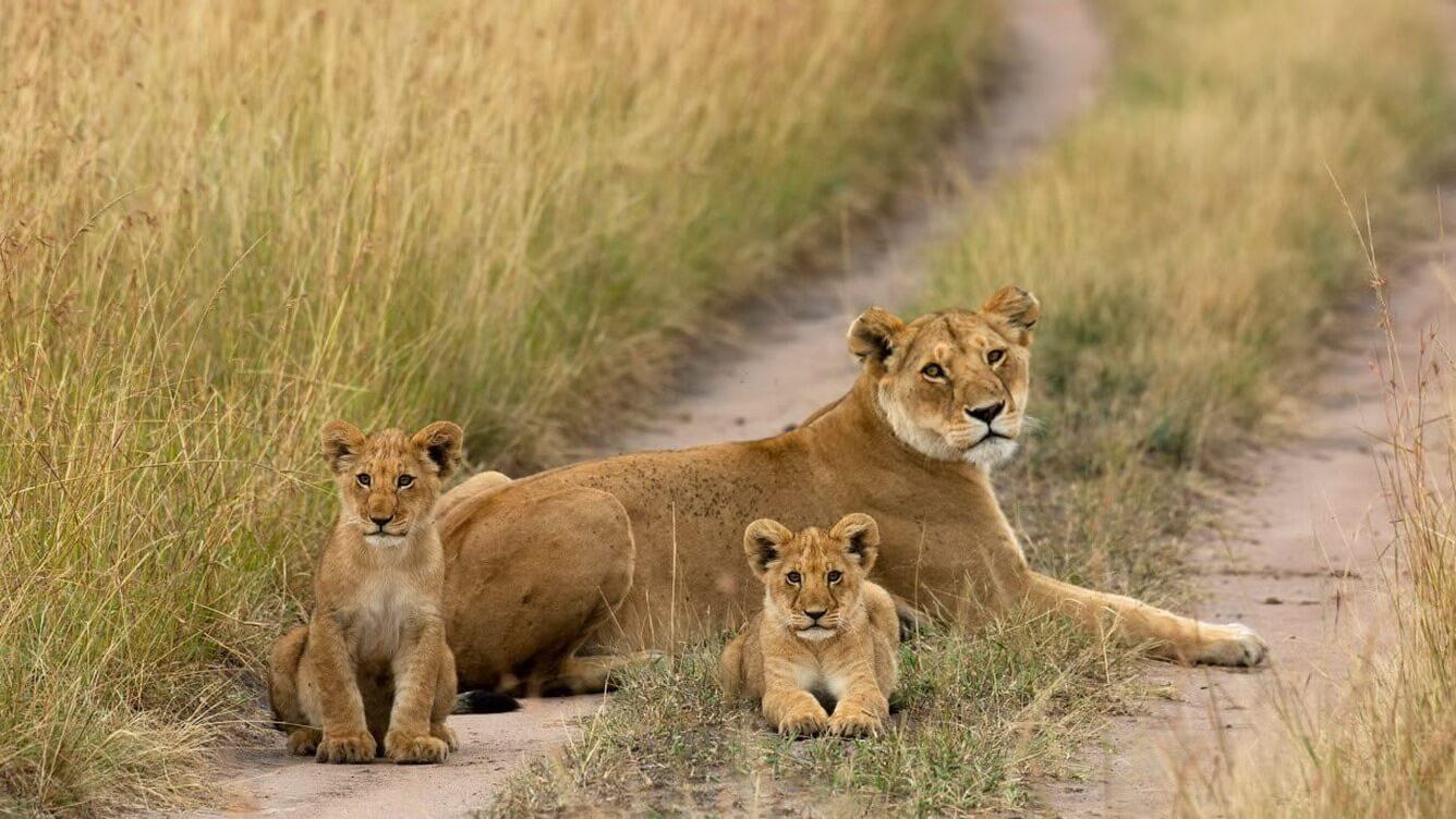 Đến Aberdare xem sư tử săn mồi