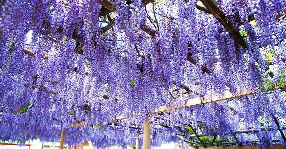 Lễ hội hoa tại đền Kanahebisui