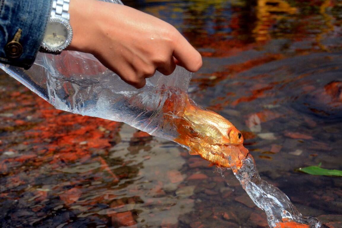Thả cá phóng sinh