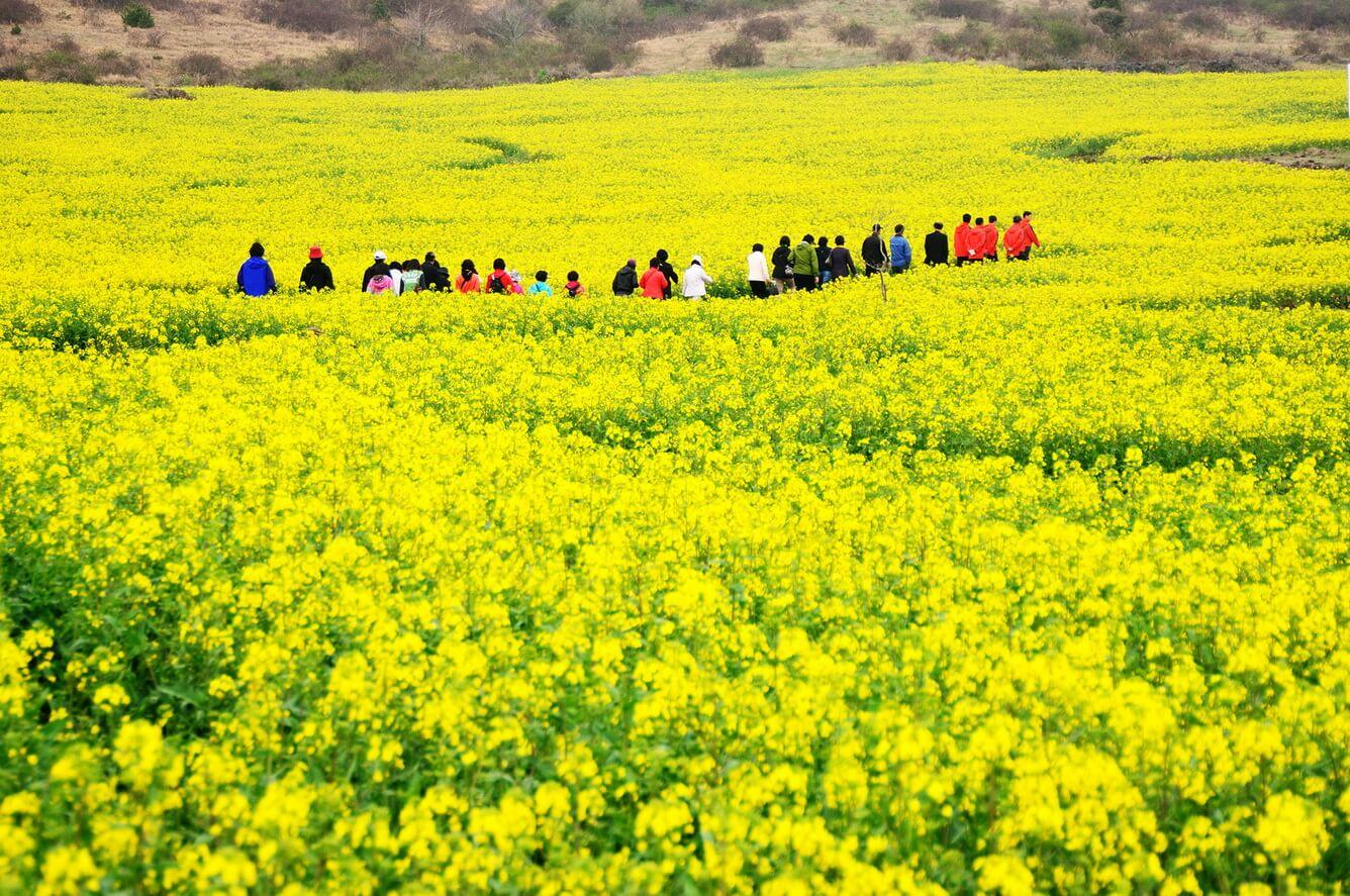 1. Cánh đồng hoa hoa cải ở đảo Jeju