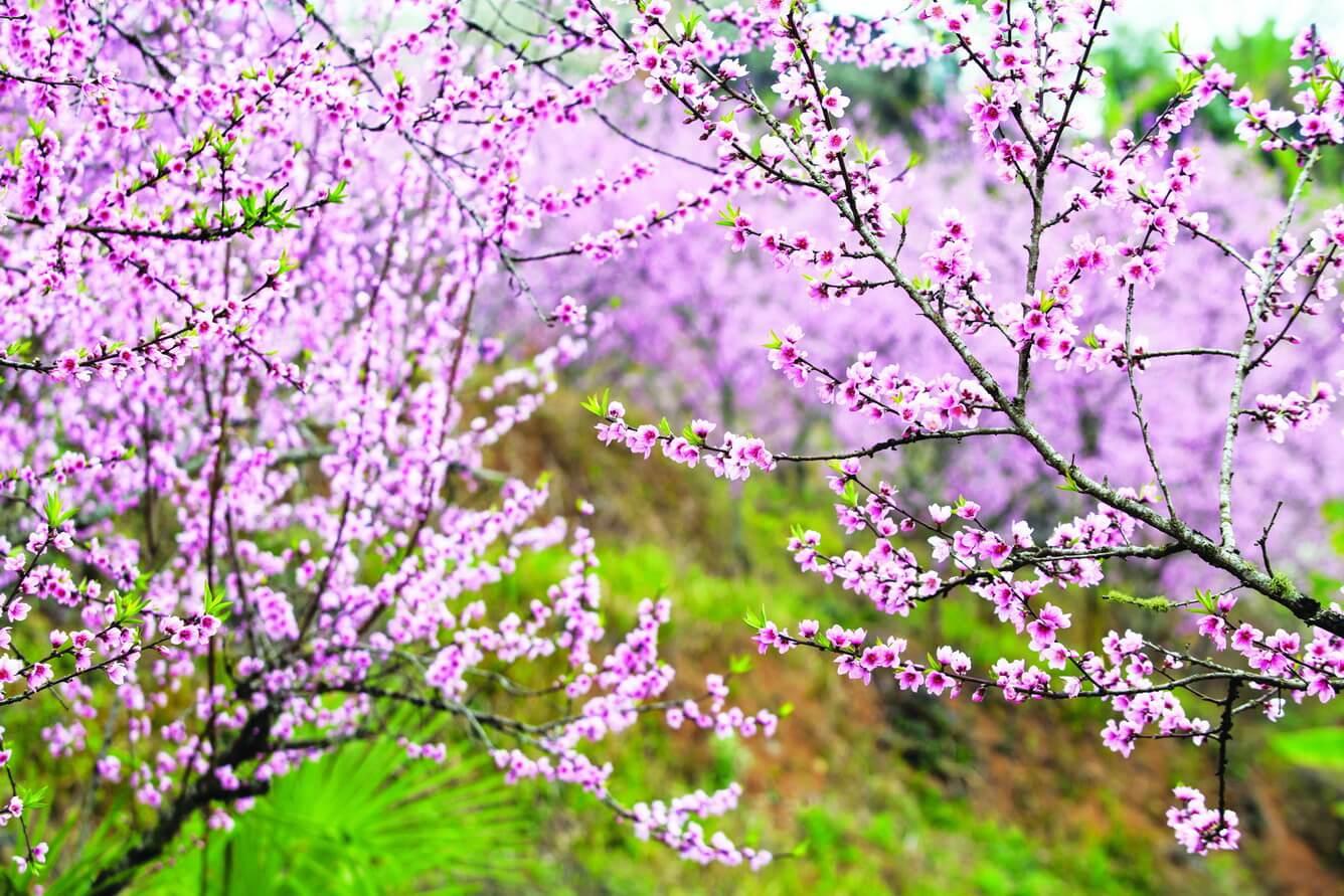 Hà Giang thắm sắc hoa đào