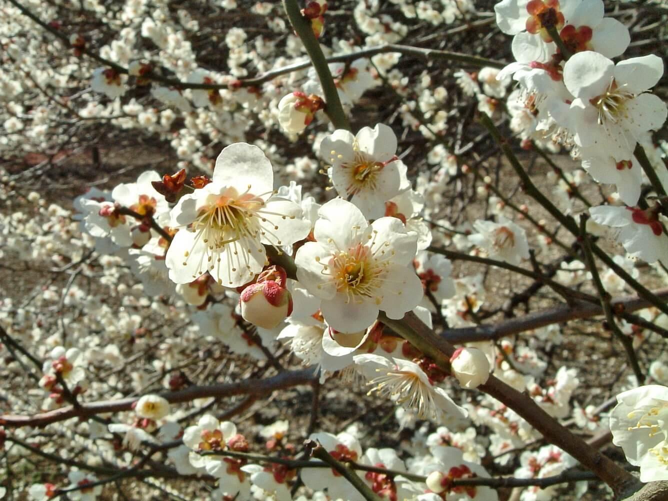 Tháng 1 - Hoa mơ nở trắng đất trắng trời