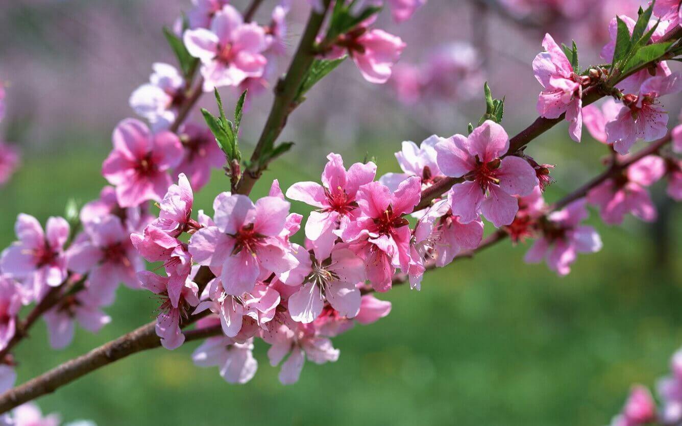 Tháng 2 - Sắc thắm hoa đào ngự trị