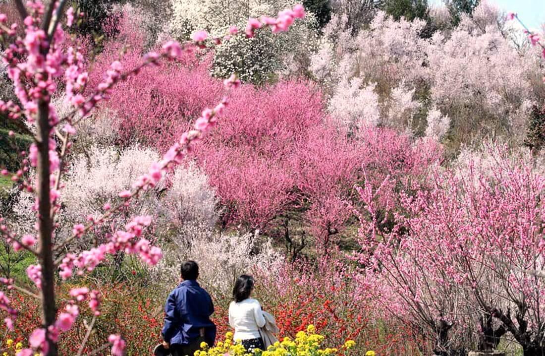 Mùa xuân diệu kỳ ở Fukushima