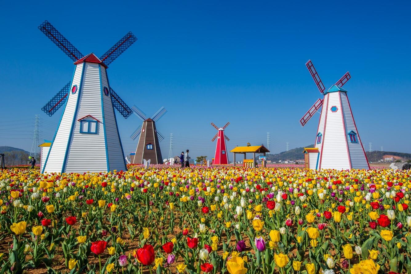 """Ngất ngây mùa hoa tulip châu Âu, hoa """"anh túc"""" tại Mỹ"""