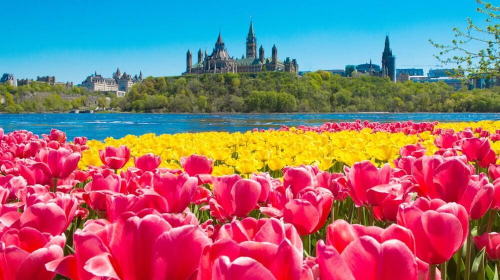 Tư bừng lễ hội hoa tulip Canada