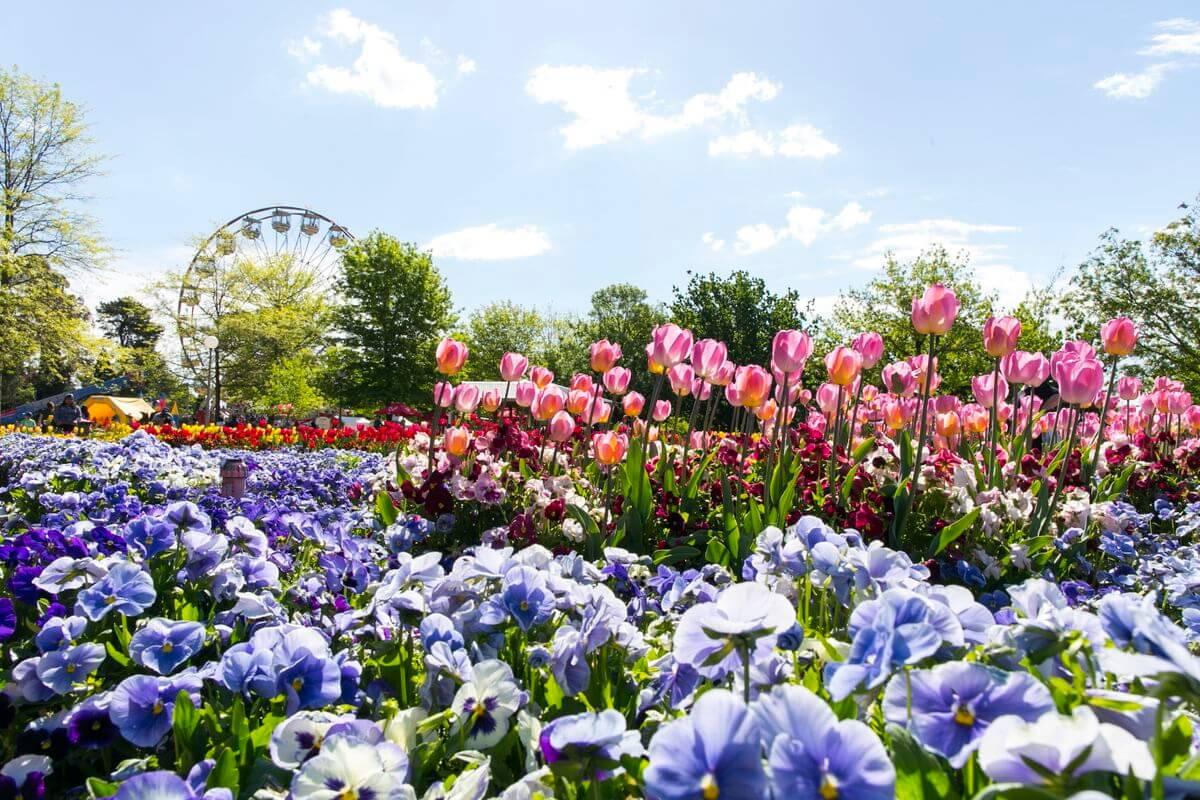 Ngây ngất sắc hoa xuân Nam bán cầu