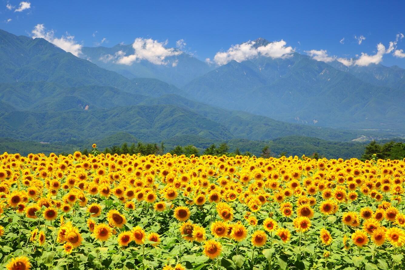 Lễ hội hoa hướng dương Mashiko Sunflower