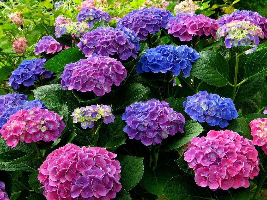 4. Ngây ngất sắc hoa cẩm tú cầu