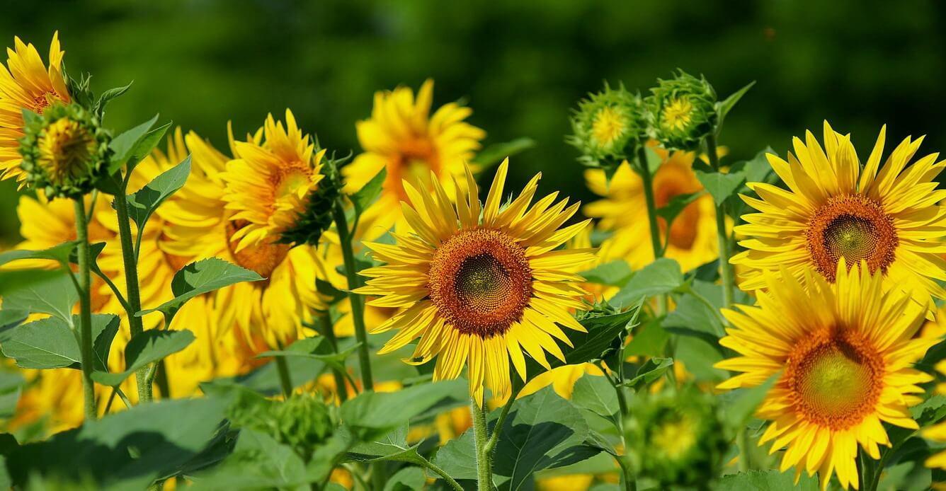 Rực rỡ cánh đồng hoa hướng dương Nghệ An