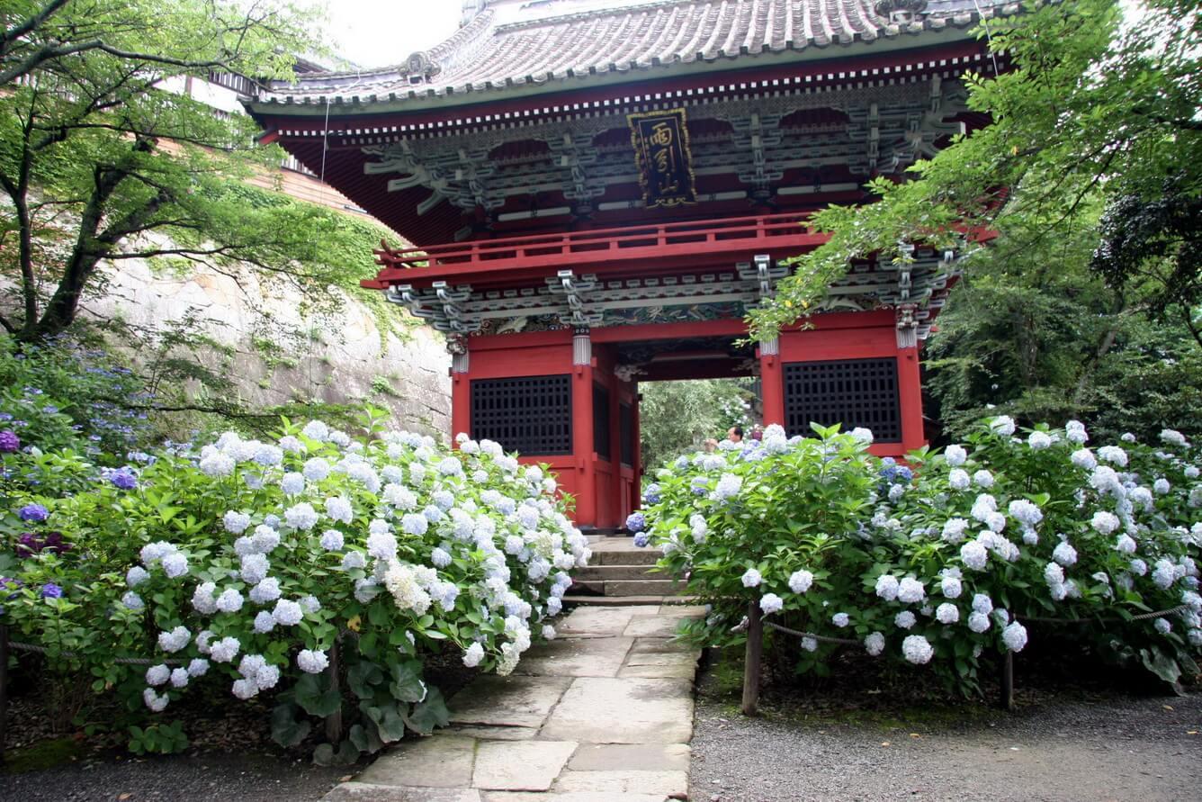 Amabiki Kannon  - Lễ hội hoa cẩm tú cầu Amabiki Kannon