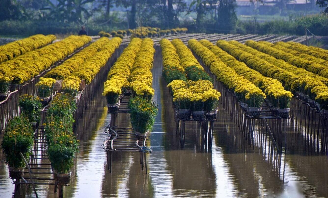 Hương xuân e ấp cánh mai vàng