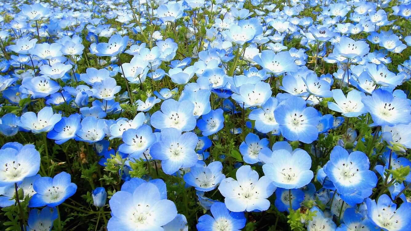 Xanh biếc đồi hoa nemophilas