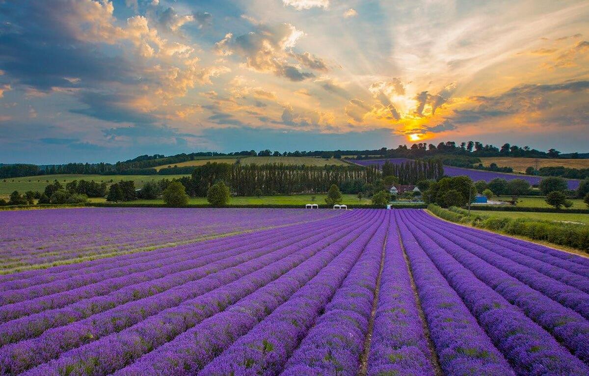"""Provence & """"tấm bản đồ màu tím"""""""