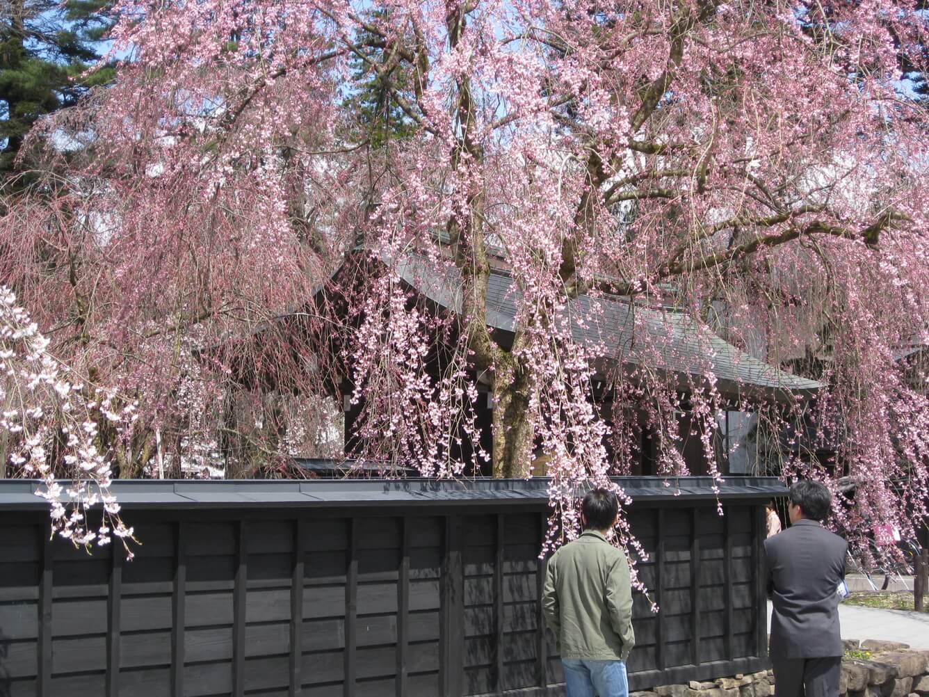 5. Dinh thự Samurai và anh đào (Tỉnh Akita)