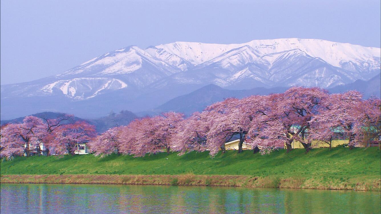 7. Hitomesenbon zakura (Tỉnh Miyagi)