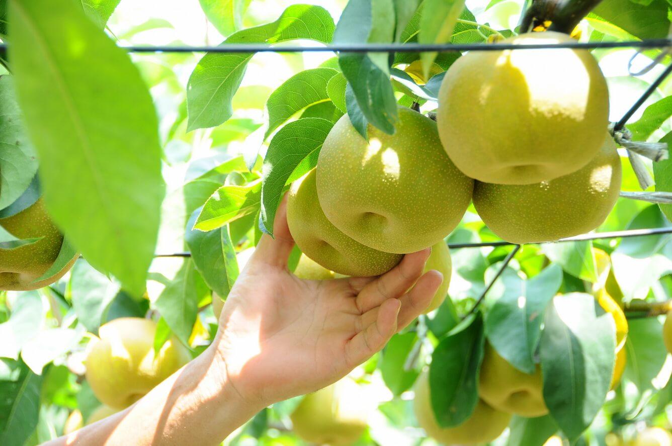 Không chỉ dâu tây mà còn có nhiều loại trái cây khác tại 'Vương quốc' trái cây Ibaraki