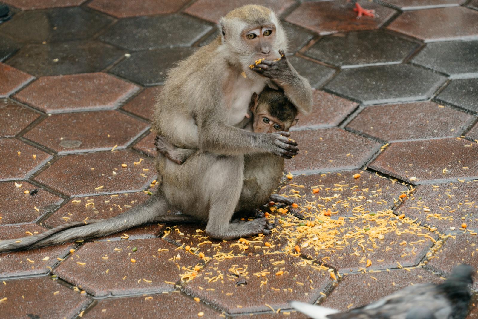 Kuala Lumpur's monkeys