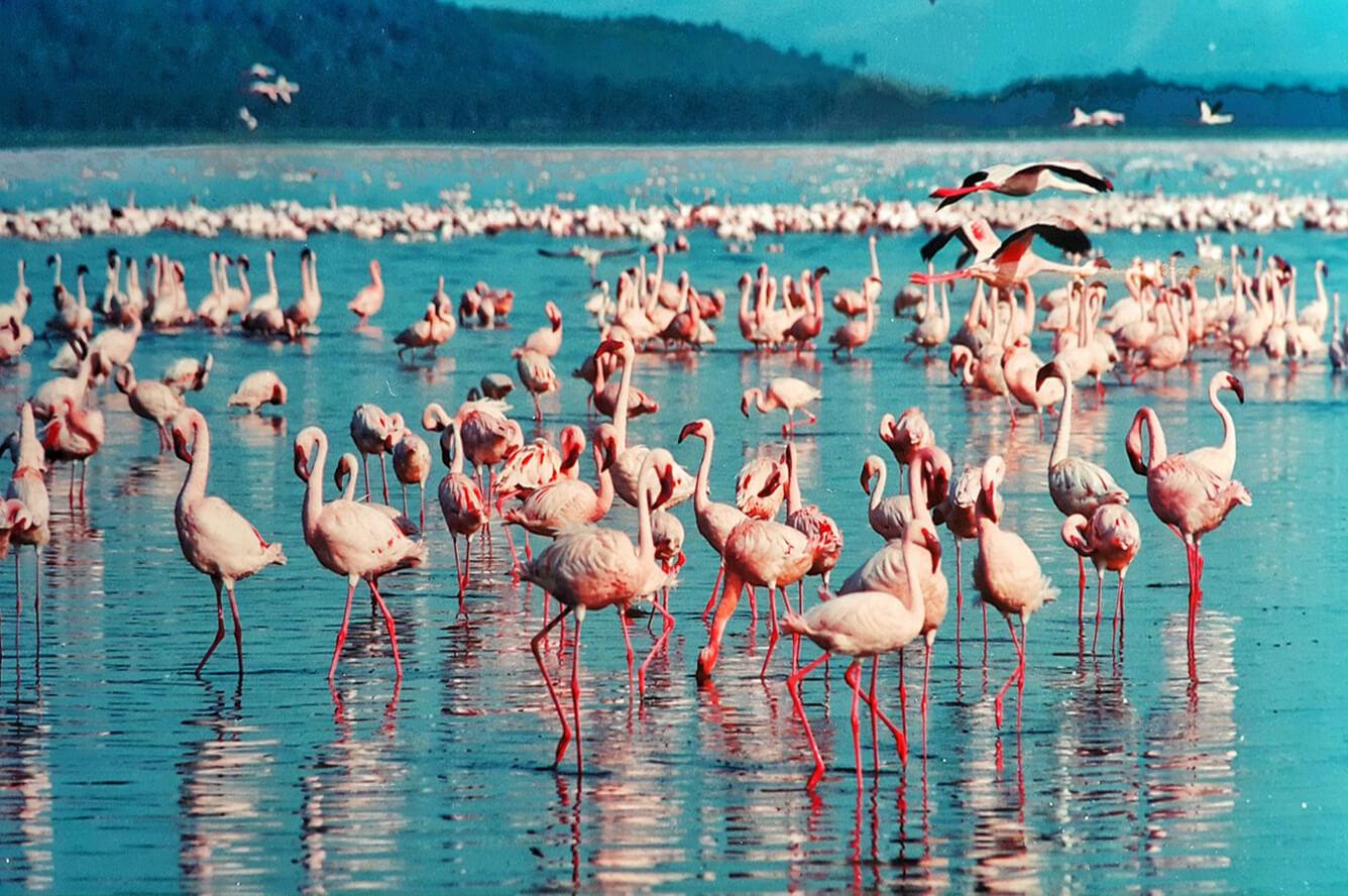 """""""Thiên đường hồng hạc"""" Nakuru"""
