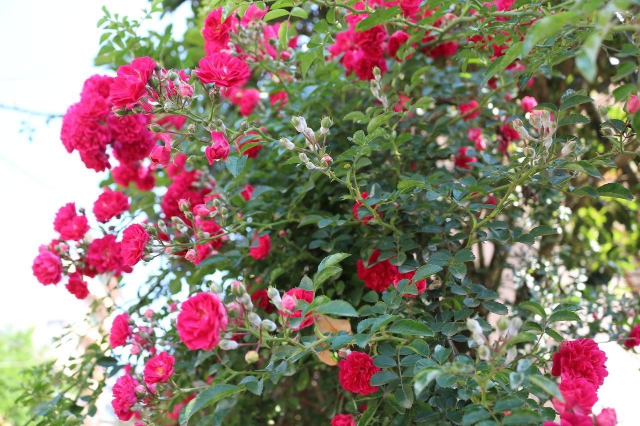 2. The Sapa rose