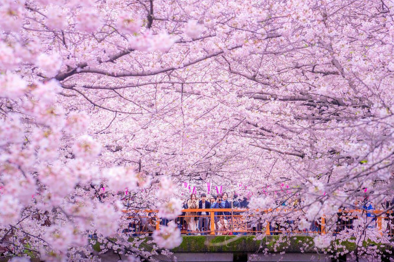 Chiêm ngưỡng hoa anh đào nghịch mùa ở Obara