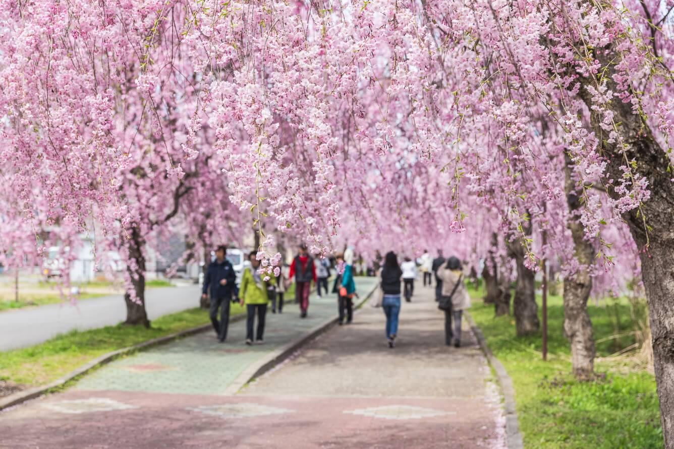 Hoa đào rũ đẹp lộng lẫy (Fukushima)