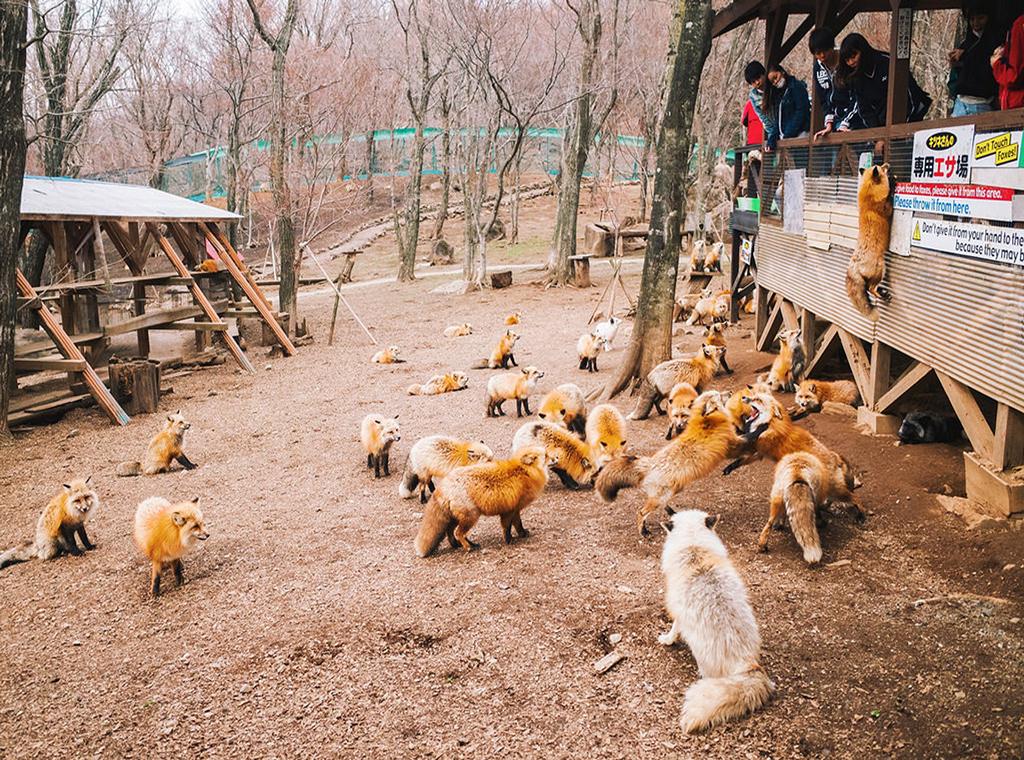 Làng cáo Zao Kitsune đang là địa điểm cực thu hút khách du lịch