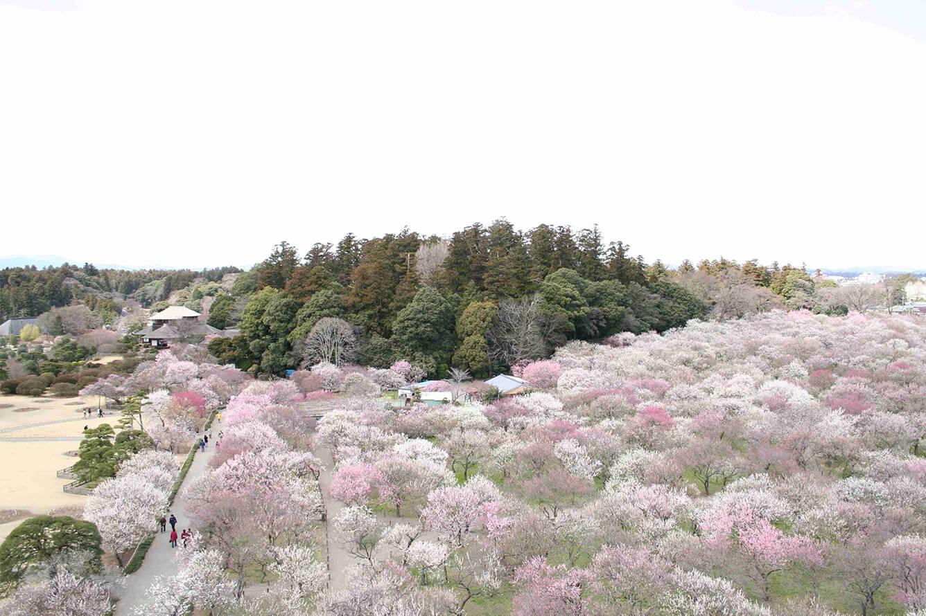 Lễ hội hoa Mai tại Tsukuba