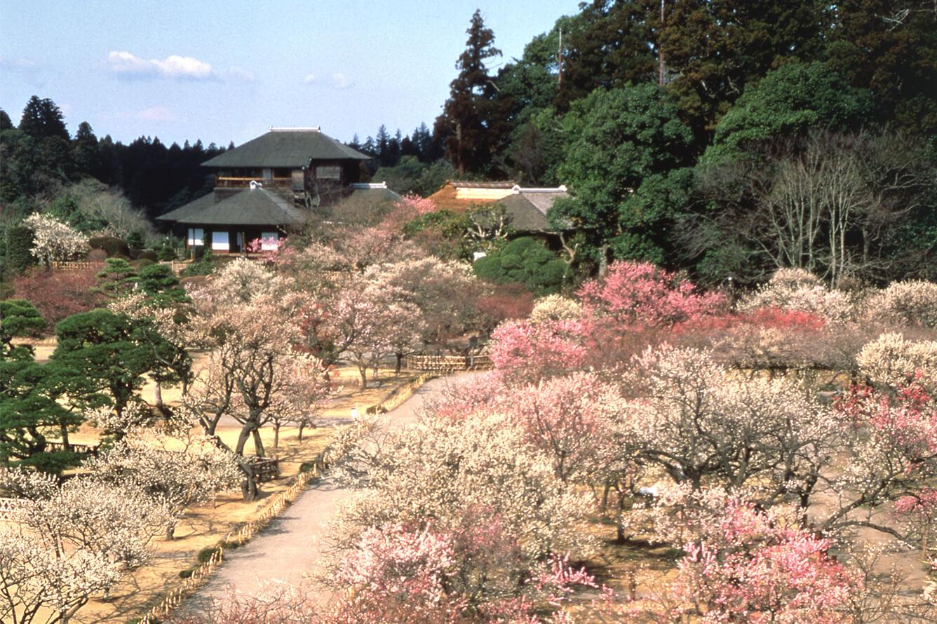 Ibaraki không chỉ có hoa anh đào Sakura mà còn có những rừng hoa Mai tuyệt đẹp