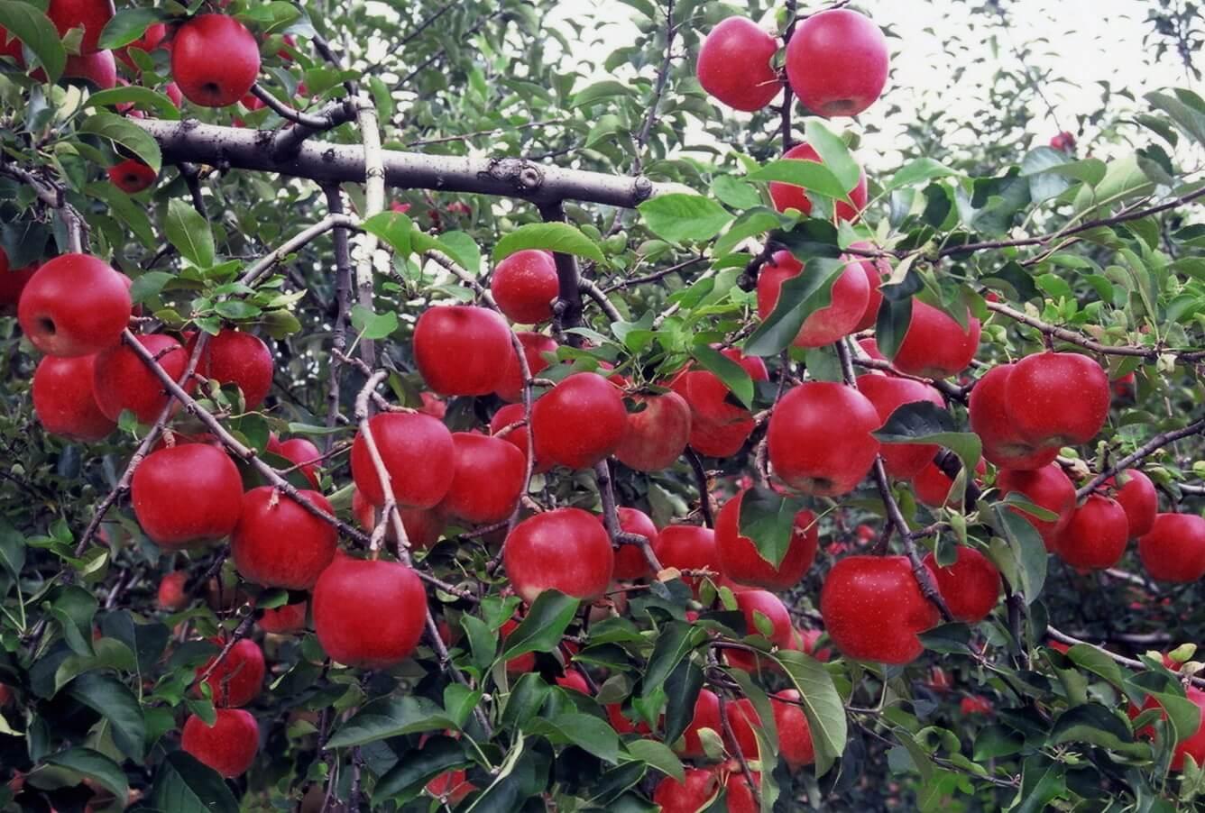 Trải nghiệm hái táo vào mùa!!!