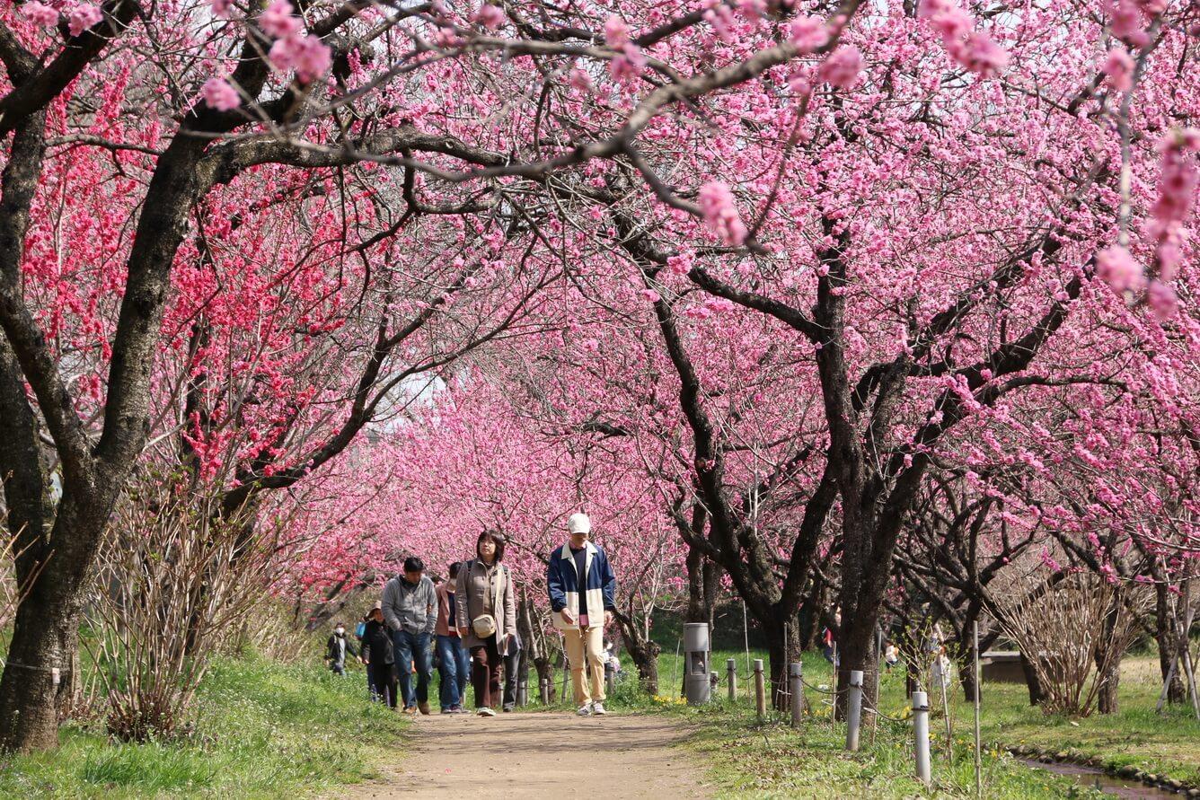 Du lịch Ibaraki mùa xuân với hoa Mơ và các lễ hội