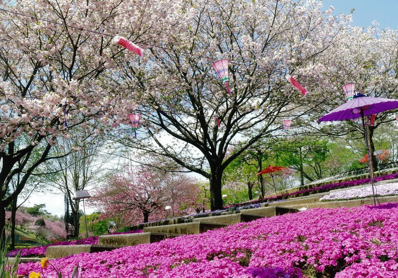 3. Chiêm ngưỡng vườn hoa với 100 cây hoa anh đào đẹp nhất Nhật Bản!